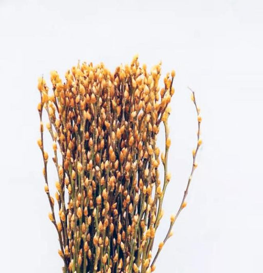 Pussy Willow Gold10 6Ft (Imported) - Amber Gold