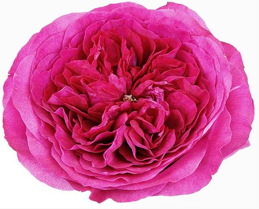 David Austin Rose -  Capability single stalk