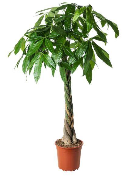 Pot Pachira Aquatica - 5 Feet