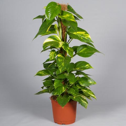 Pot Money Plant - 4 Feet