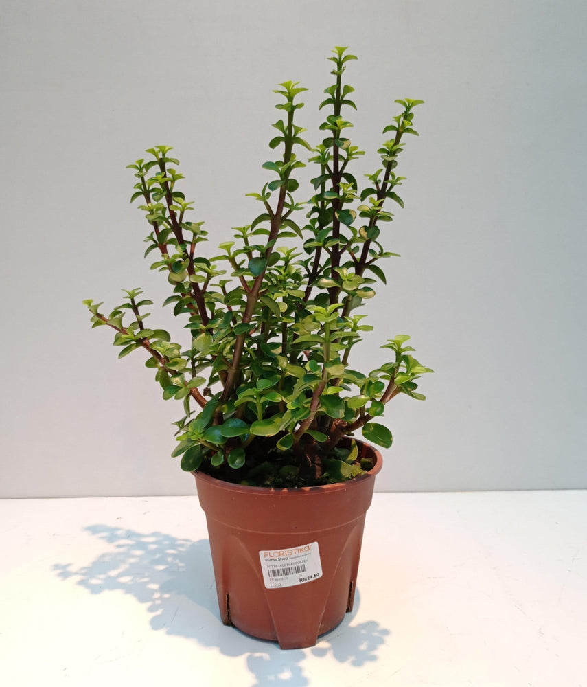 Pot Bp Jade Plant Green (Local) - Green