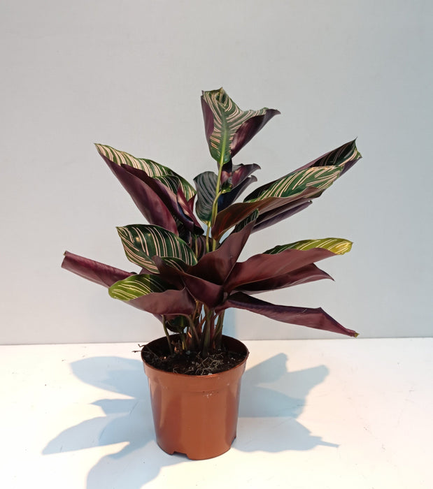 Pot Calathea (Imported)