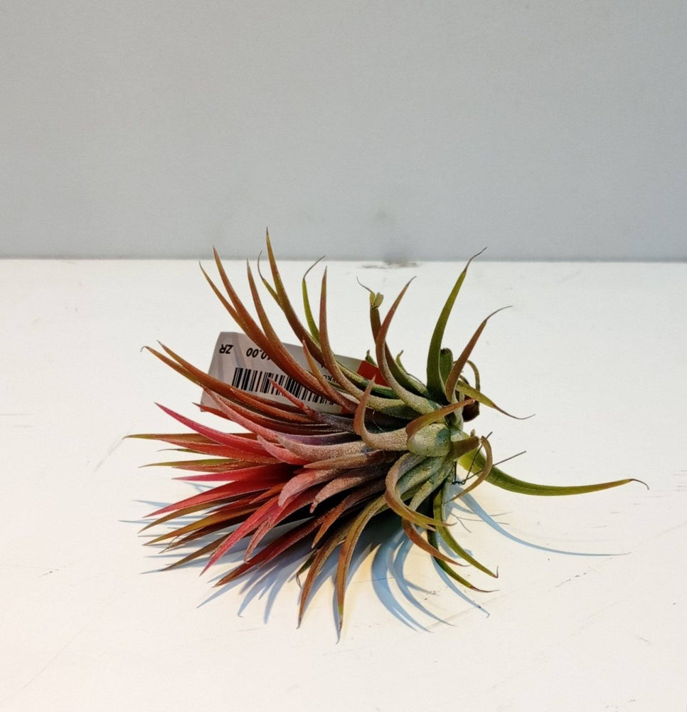 T.Ionantha Rubra (Imported) - 2 Tone Green Red