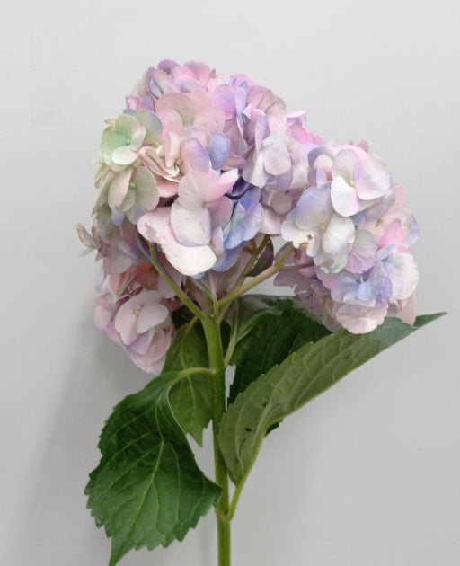 Hydrangea (Imported) - Light Purple Marsmallow