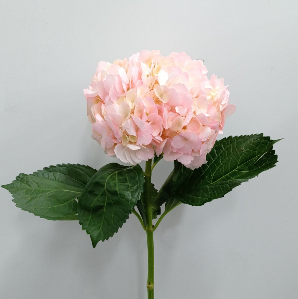 Hydrangea (Imported) - Light Pink