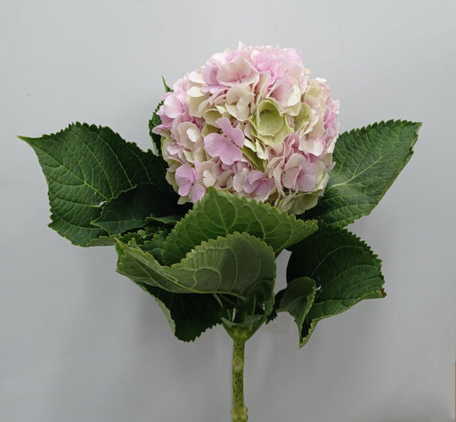 Hydrangea Classic Mix (Imported) - Light Pink
