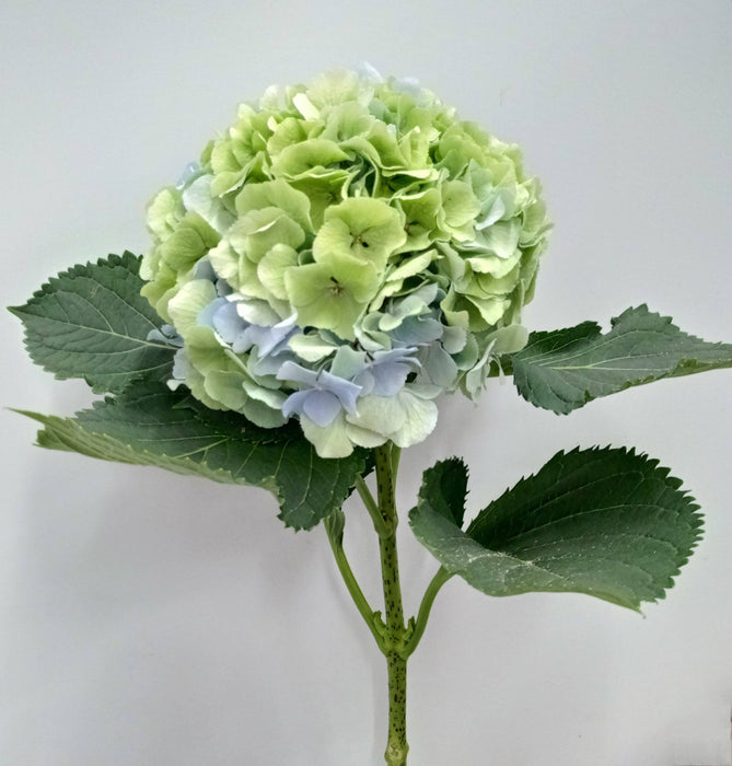 Hydrangea Classic Mix (Imported) - Green