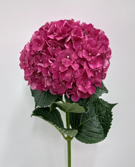 Hydrangea Magical Rudy (Imported) - Shocking Pink