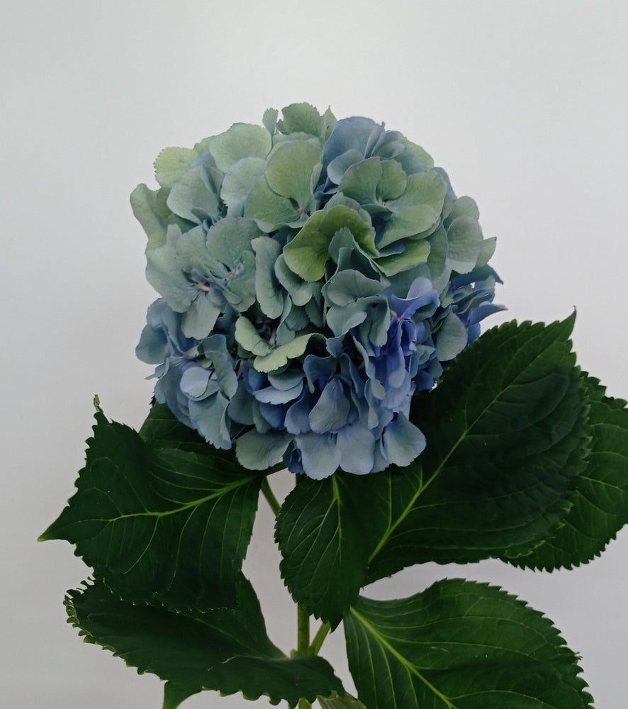 Hydrangea Classic Mix (Imported) - Blue