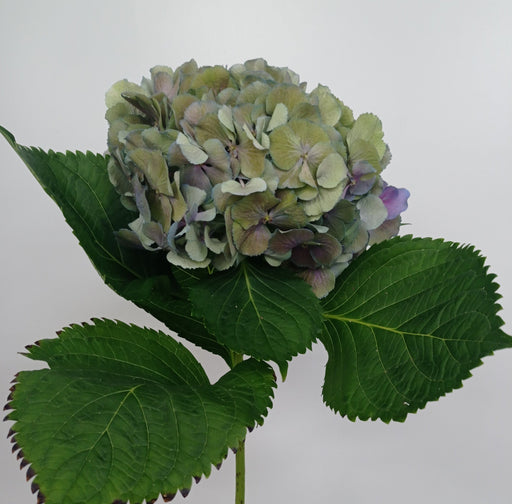Hydrangea Classic Mix (Imported) - B. Green