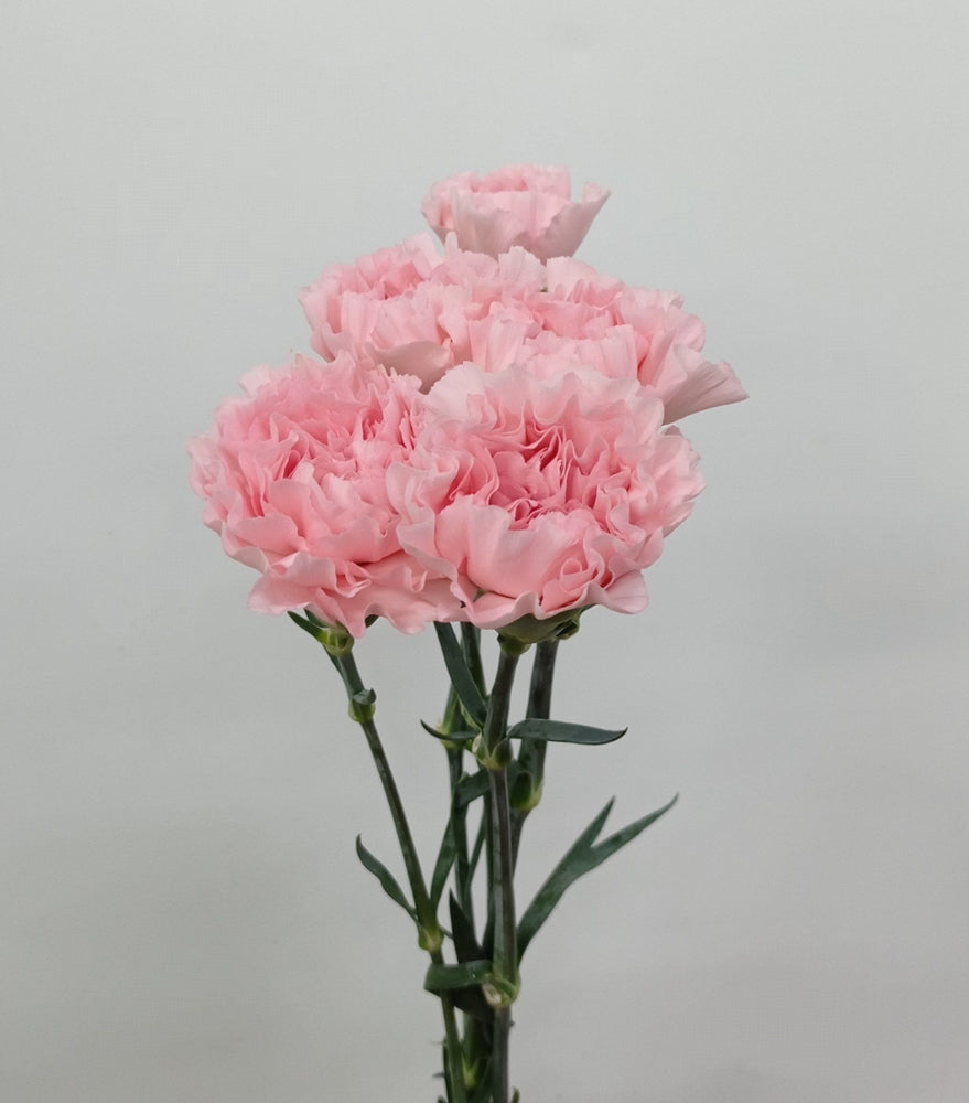 Carnation (Imported) - Nahema