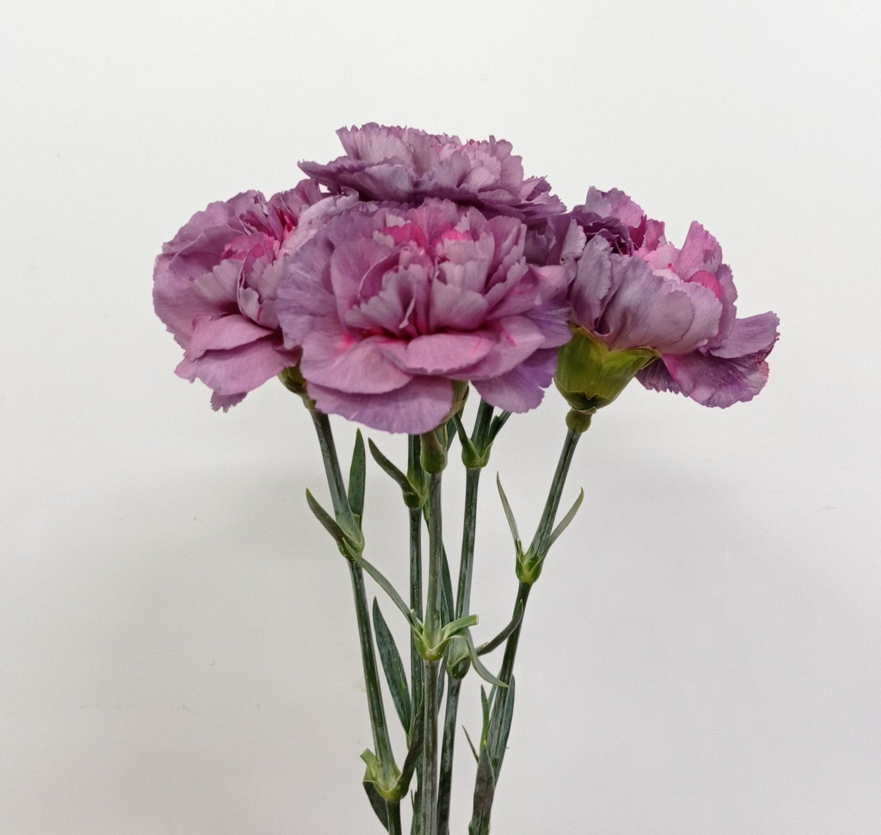 Carnation (Imported) - Mohave