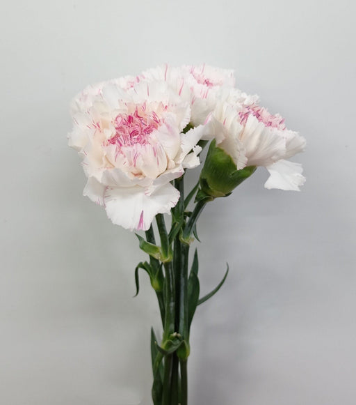 Carnation (Imported) - Yucari Cherry