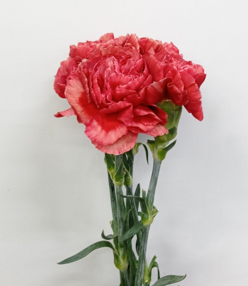 Carnation (Imported) - Fabulous
