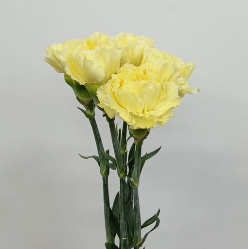Carnation (Imported) - Diletta