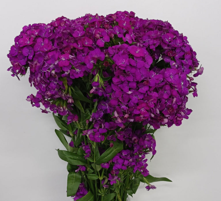 Barbatus Dianthus (Imported) - Purple