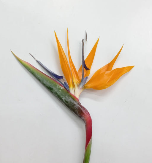 Bird Of Paradise (Local) - Orange