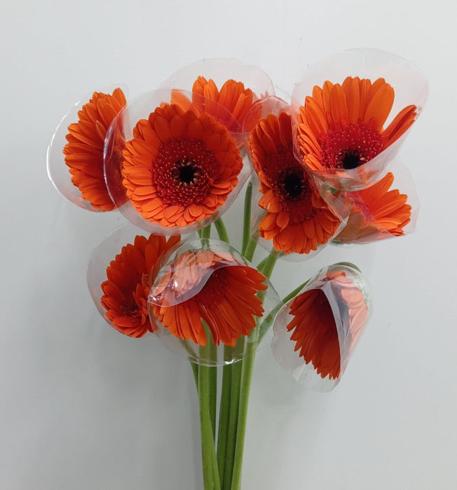 2 Bundle Gerbera (Local) - Orange