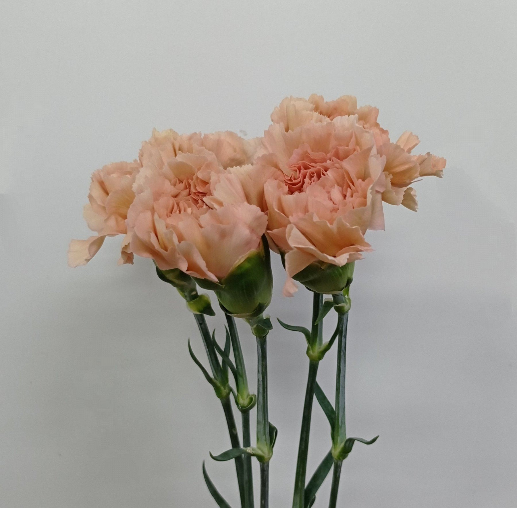 Carnation (Imported) - Caramel