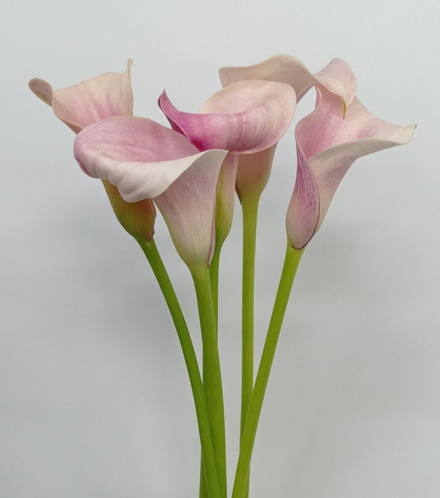 Calla Lily Pink Melody (Imported) - Light Pink
