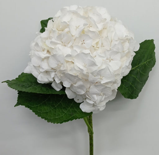 Hydrangea Magical Allure (Imported) - White