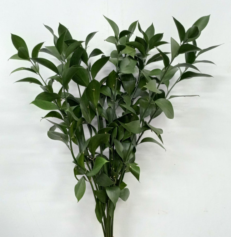 Ruscus (Imported) - Green