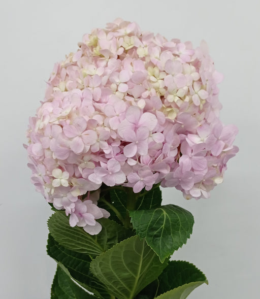 Hydrangea (Imported) - Pink