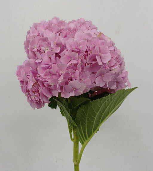 Hydrangea Cherry Pink (Imported)
