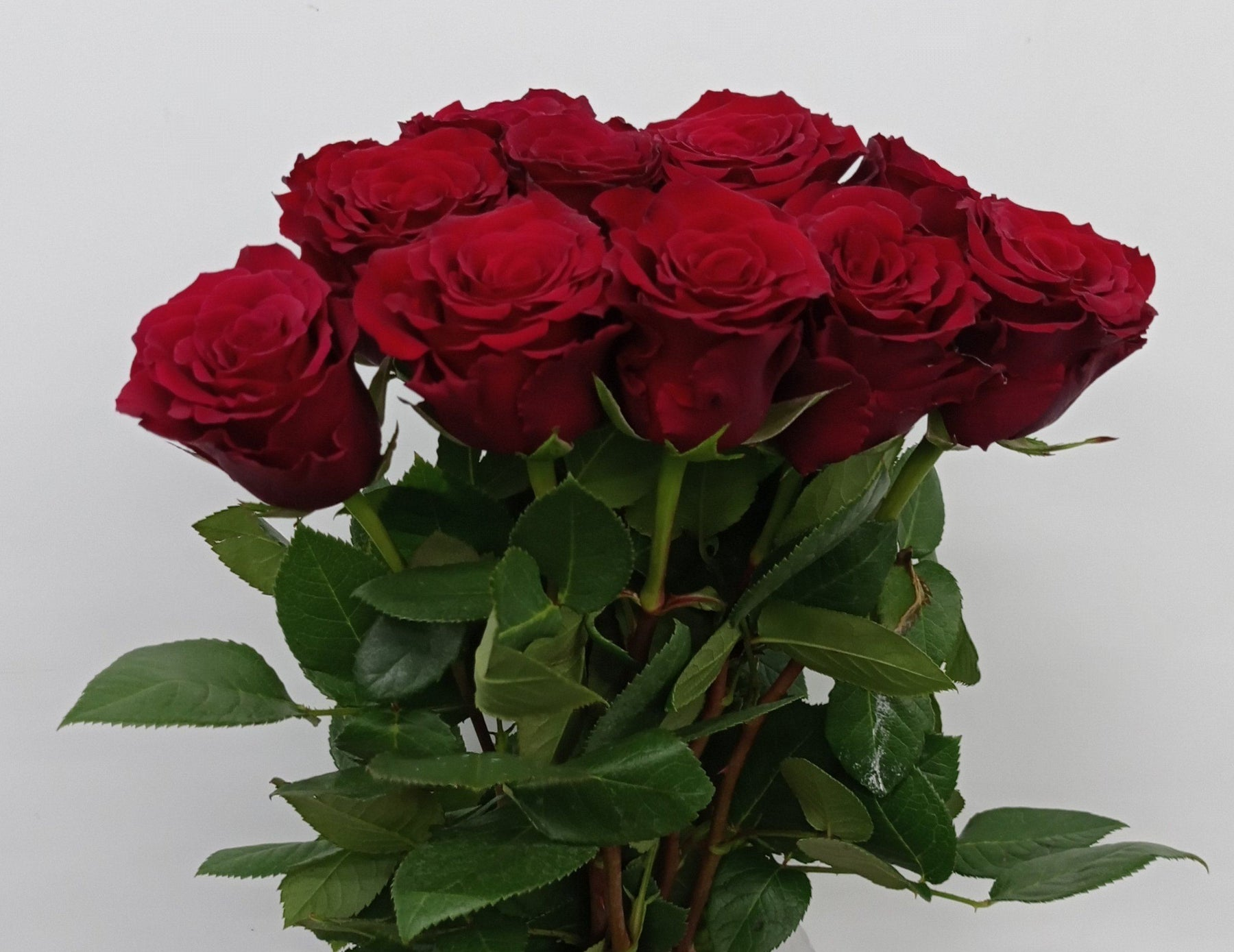 Rose (Et) 50cm (Imported) - Red
