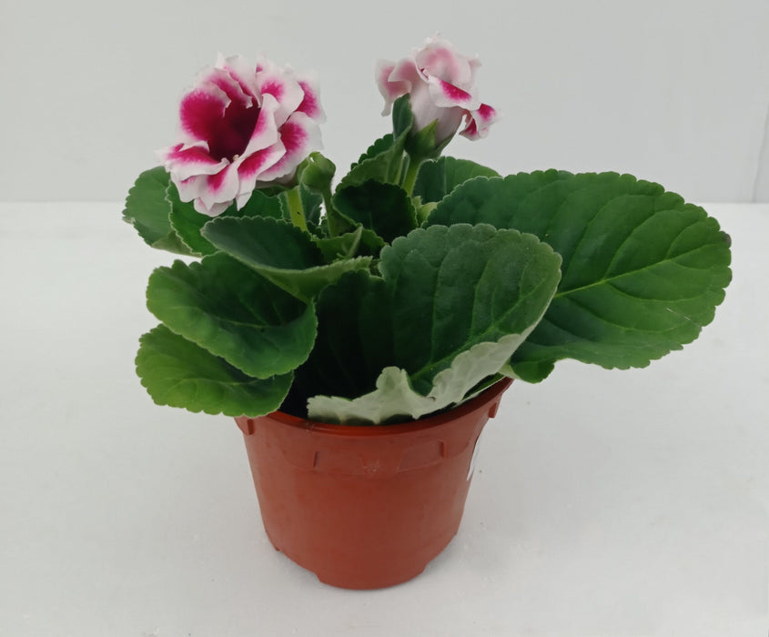 Pot Gloxinia Mix