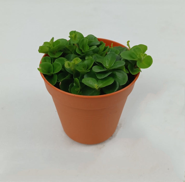 Pot Peperomia Rotund P85 (Local) - Green