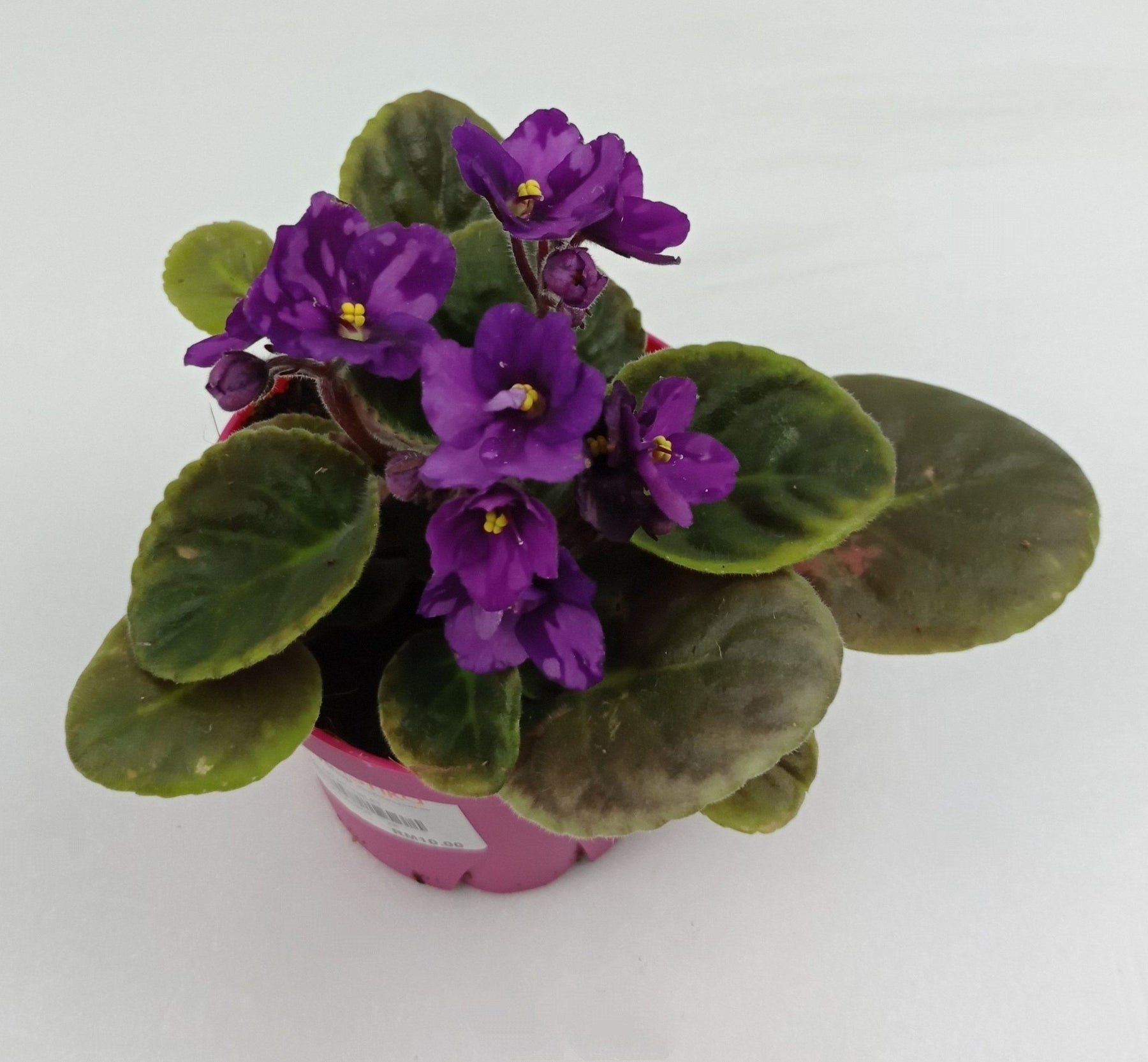 Pot African Violet (Local) - Purple