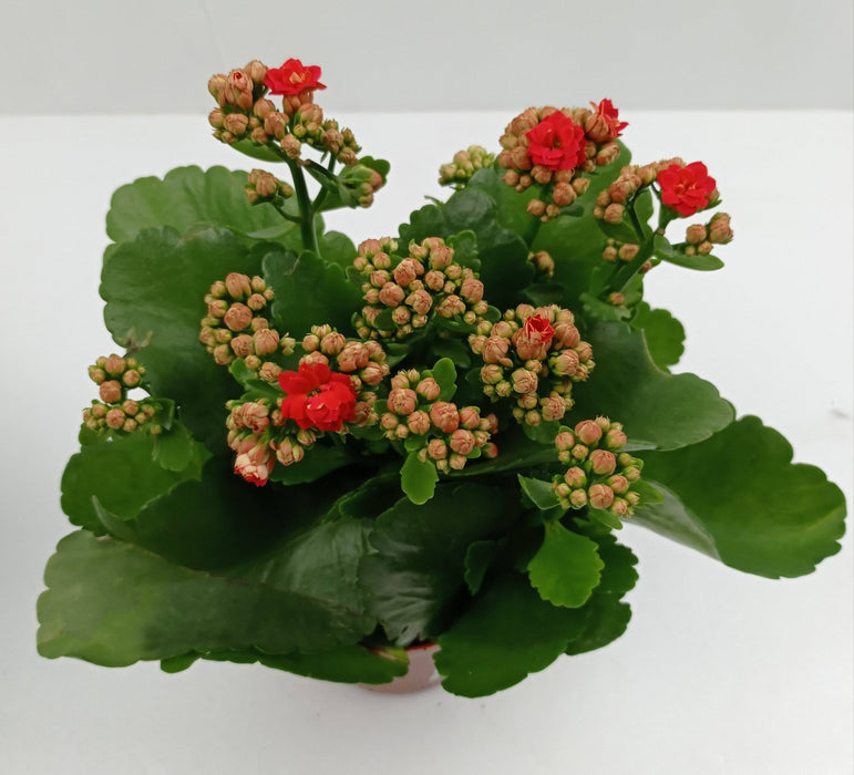 Pot Kalanchoe Mix 10.5 (Local) - Mix Colour