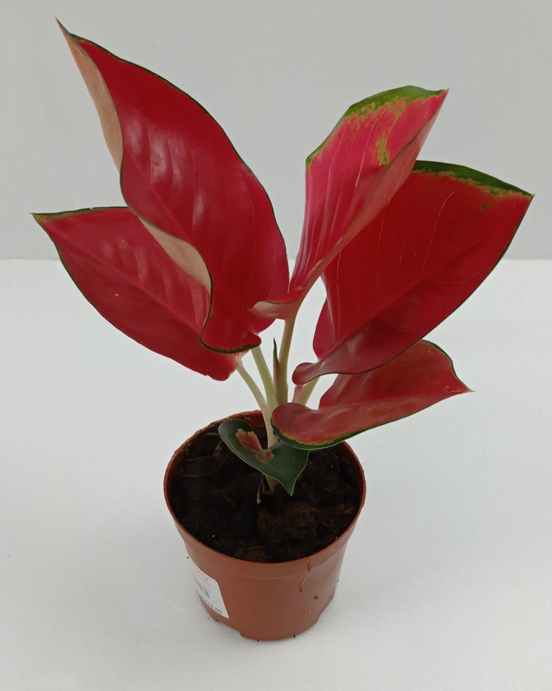 Pot Aglaonema China Red (Local) - Red
