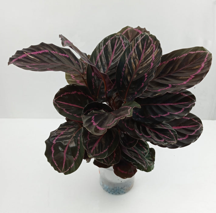 Pot Calathea + Glass (Imported) - 2 Tone Green Pink