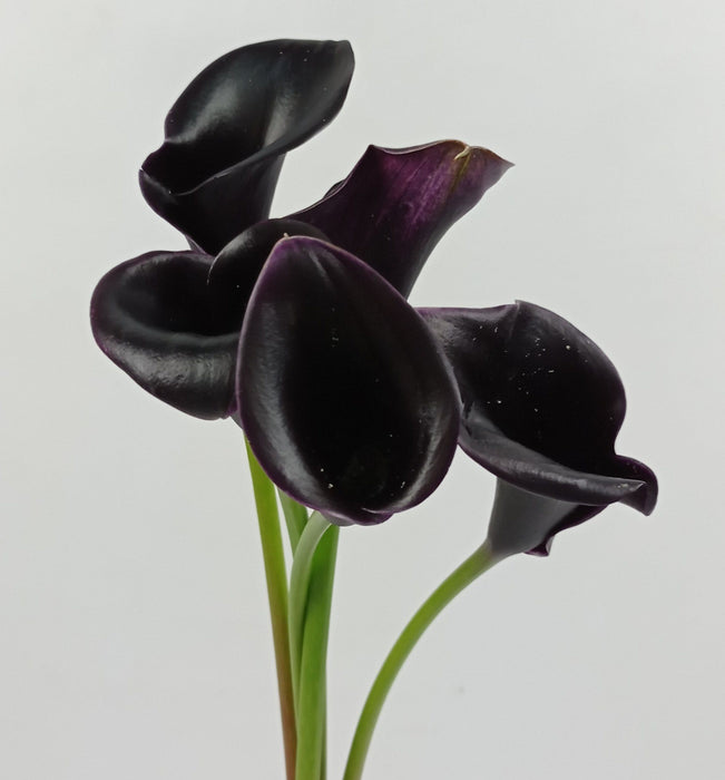 Calla Cantor (Imported) - Black