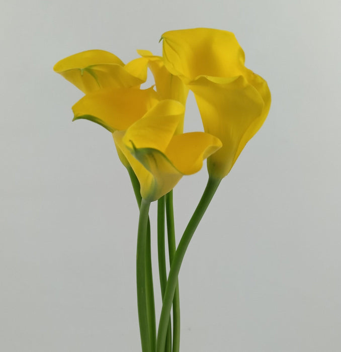 Calla Lily Gold Medal (Imported) - Yellow