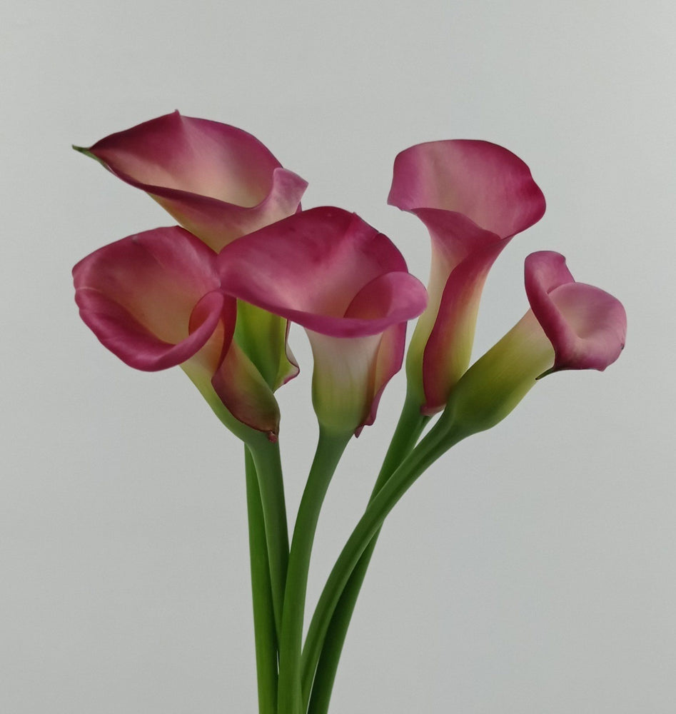 Calla Cherry Kiss (Imported) - Dark Pink