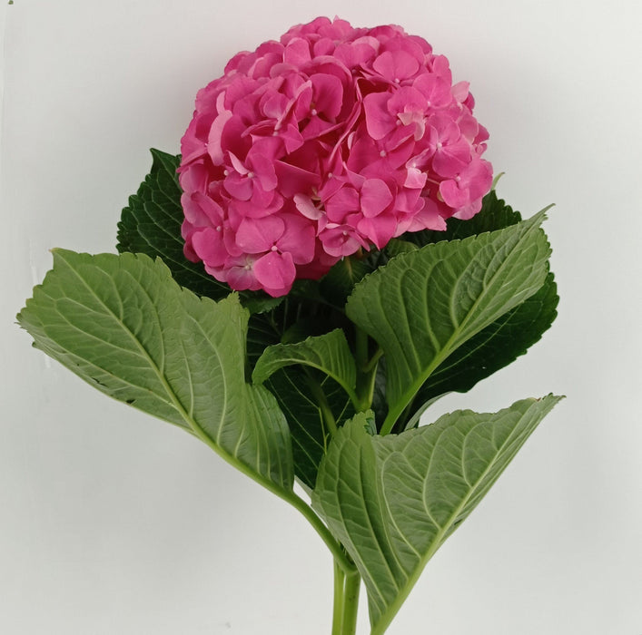 Hydrangea Glowing Alps Dark (Imported) - Dark Pink