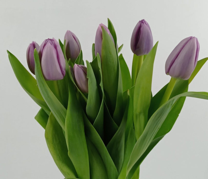 Tulip Lilac (Imported) - Lilac