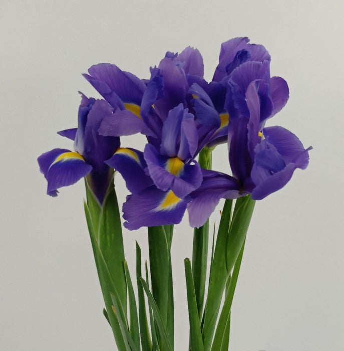 Iris Blue Magic (Imported) - Purple