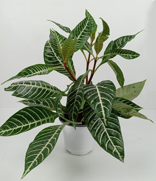 Pot Zebra Plant (Imported)