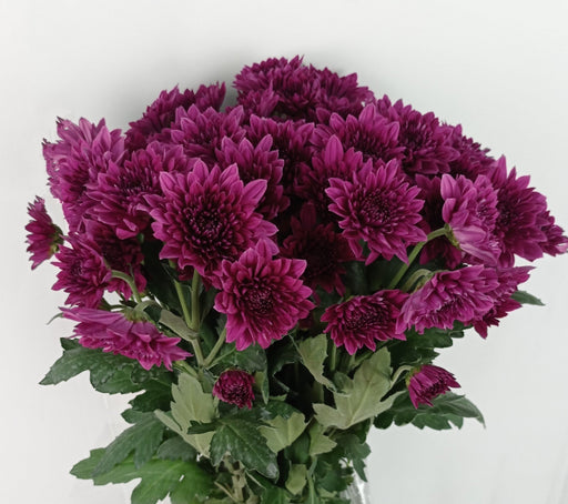 2 Bundle Pom Pom (Local) -  Dark Purple