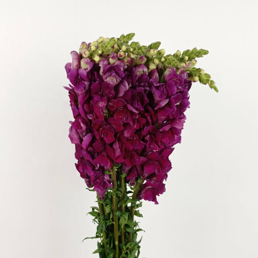 Antirrhinum Majus (Imported) - Dark Purple