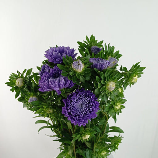 Aster (Imported) - Purple
