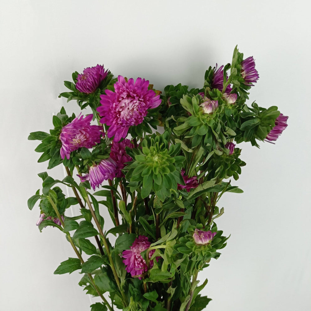 Aster (Imported) - Dark Purple