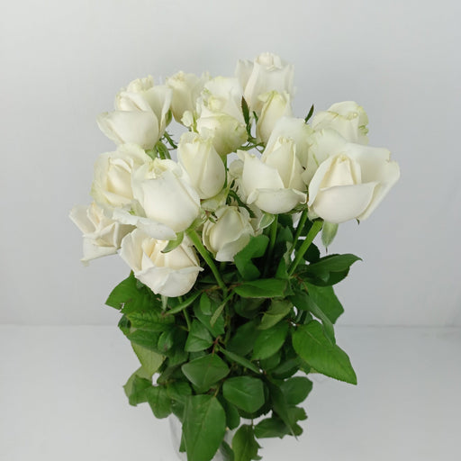 Rose White Avalanch India (Imported) - White Avalanch