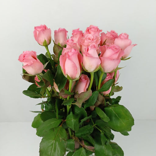 Rose Noblease India (Imported) - Pink