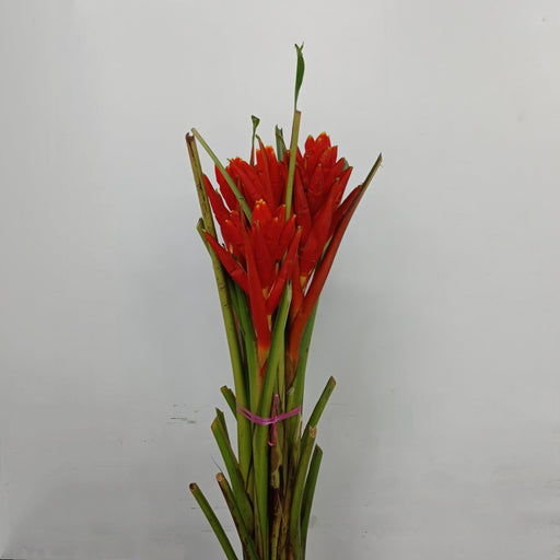 Musa 5 Stems (Local) - Red