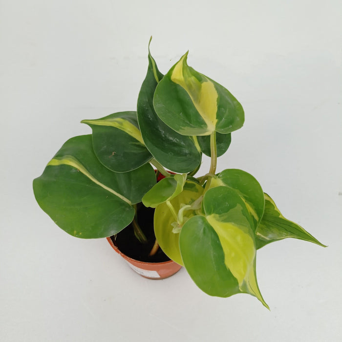 Pot Philodendron P8.5